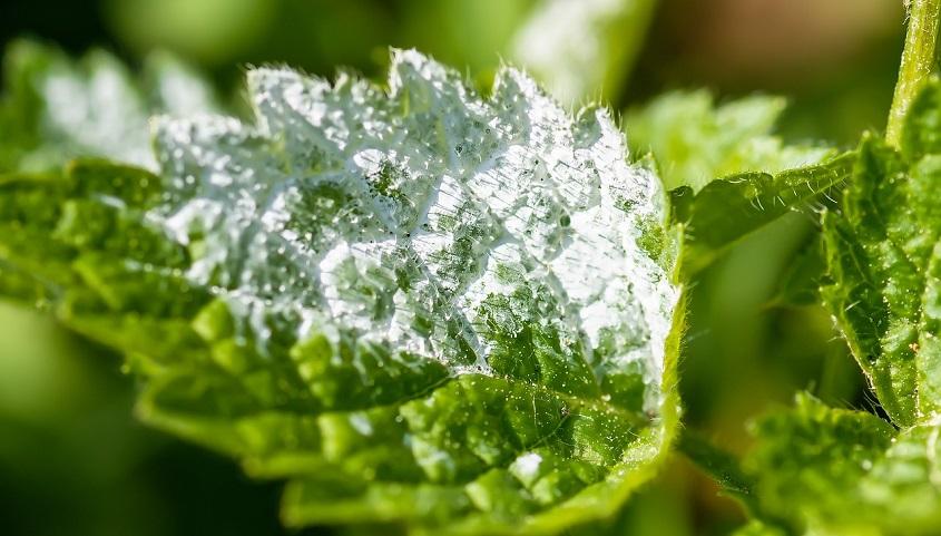 mildiou reconnaître traitement